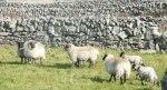 Sheep and Walls